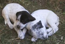 Inzercia psov: Darujeme trojmesačné šteniatka:) sú nádherné:)