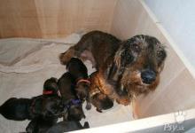 Inzercia psov: hrubosrstý jazvečík