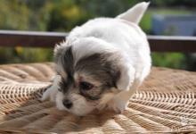 Inzercia psov: Šteniatka Coton de Tuléar