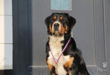 Inzercia psov: Steniatka - velky svajciarsky salasnicky pes s PP