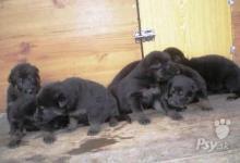 Inzercia psov: Steniatka Nemeckeho ovciaka s PP na predaj
