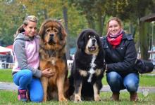 Inzercia psov: Tibetská doga - štěňata s PP po výborných rodičích