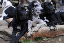 Inzercia psov: Německá doga s PP