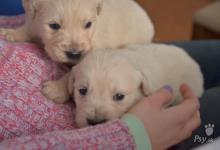 Inzercia psov: Nádherné šteniatka Zlatého Retrievera