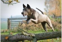 Inzercia psov: Chovná fena TRD