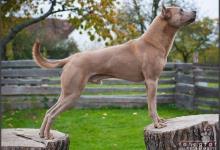 Inzercia psov: Krycí pes TRD