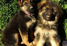 Inzercia psov: Chovná stanica Slnečný sen ponúka na predaj
