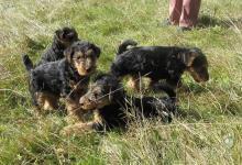 Inzercia psov: štěňata Welsh teriera