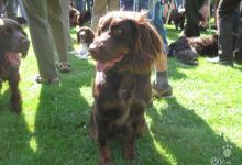 Inzercia psov: Štěňata německého křepeláka