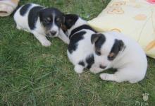 Inzercia psov: Predám šteniatka Jack Russel Teriér