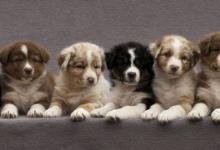 Inzercia psov: TOP šteniatka austrálskych ovčiakov