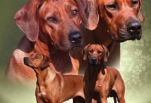 Inzercia psov: Rhodéský Ridgeback-štěňátka s PP