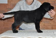 Inzercia psov: Čierne šteniatka labradora