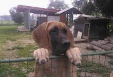 Inzercia psov: Německá doga žlutý pejsek