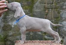 Inzercia psov: poslední volná štěňátka výmarského ohaře