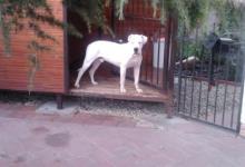 Inzercia psov: Argentínska doga