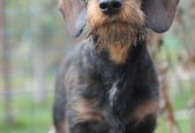 Inzercia psov: Jazvečík hrubosrstý štandard s PP