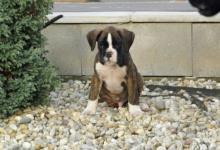 Inzercia psov: nemecký boxer