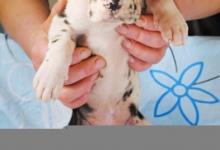Inzercia psov: Německá doga štěňátka s PP
