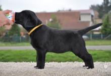 Inzercia psov: Šteniatko labradora s PP