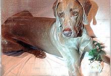 Inzercia psov: Plánované šteniatka s PP 02/ 2014