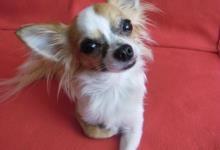 Inzercia psov: Ponúkam mini čivavu na krytie