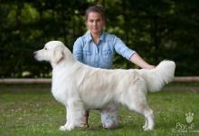 Inzercia psov: Štěňata zlatého retrievera s PP
