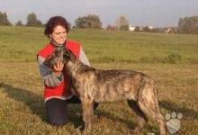 Inzercia psov: Irský vlkodav - štěňata