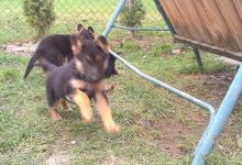 Inzercia psov: Predám čistokrvné šteniatka
