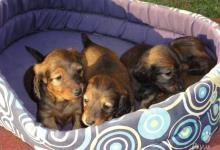 Inzercia psov: Dlhosrstý trpasličí/králičí jazvečík