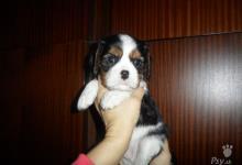 Inzercia psov: Prodám štěňátka kavalíra s PP