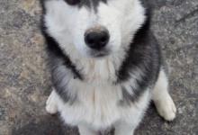 Inzercia psov: Sibírsky husky