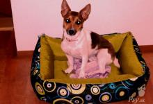 Inzercia psov: DARUJEME 3 ročnú fenku Jack Russel