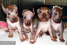 Inzercia psov: Peruánský naháč velký