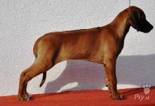 Inzercia psov: Rhodesian ridgeback s PP - nyní k odběru