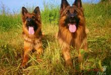 Inzercia psov: prodám štěňata výběrového chovu