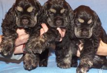 Inzercia psov: šteniatka - americký kokerspaniel