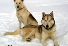 Inzercia psov: šteniatka sibírsky husky /hasky/ nečistokrvné