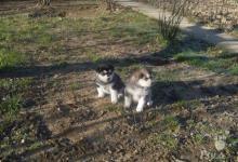 Inzercia psov: Aljašský malamut šteniatko