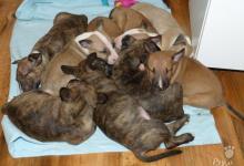 Inzercia psov: Bullterier standard