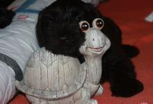 Inzercia psov: IHNED K ODBĚRU-bradáč malý černý