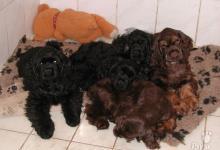 Inzercia psov: Americký kokeršpaniel šteňatá