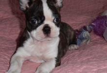 Inzercia psov: BOSTONSKÝ TERIÉR-BOSTON TERRIER