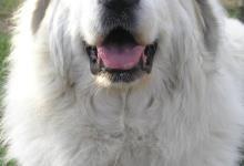 Inzercia psov: PYRENEJSKÝ HORSKÝ PES - šteniatka