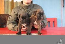 Inzercia psov: Nemecký bozer šteniatka s PP predaj
