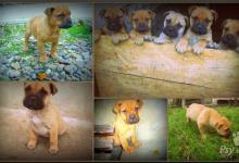 Inzercia psov: Šteniatka - Bulmastif