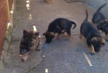 Inzercia psov: Stenata Nemeckeho ovciaka z pracovneho chovu