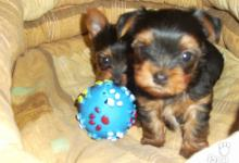 Inzercia psov: Predám šteniatka Yorkshírskeho teriéra