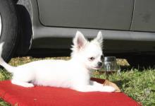 Inzercia psov: Steniatko Civava dlhosrsta