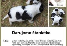 Inzercia psov: darujeme šteniatka
